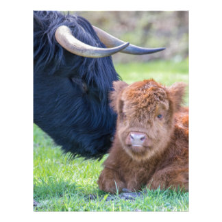 Newborn scottish highlander calf with mother cow letterhead