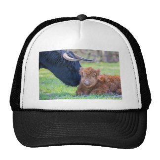 Newborn scottish highlander calf with mother cow trucker hat