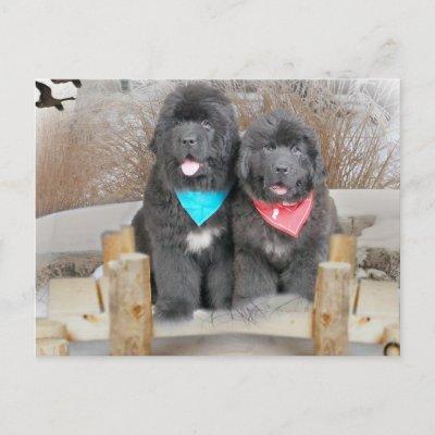 Newfoundland Puppies on Newfoundland Puppies Love The Beach Postcard At Zazzle Ca