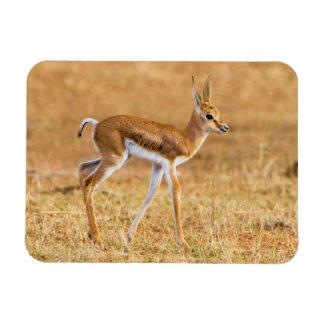 Newly Born Springbok (Antidorcas Marsupialis) Rectangular Photo Magnet