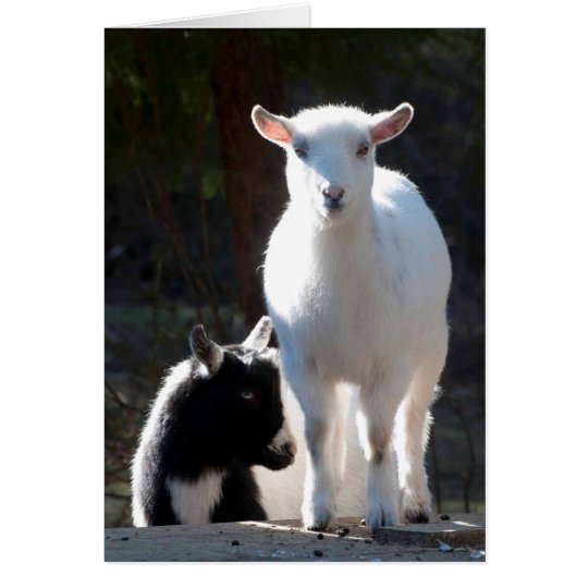 Nigerian Dwarf Goats on the Picnic Table Card