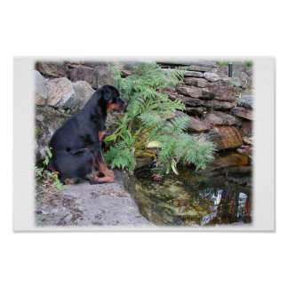 Nikita the Rottweiler pond gazing Poster