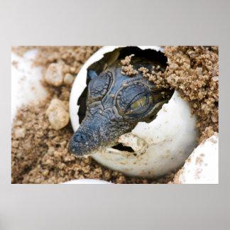 Nile Crocodile Hatchling Emerging From Egg Poster