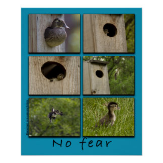 """NO FEAR"" Wood Ducks Fledging Poster"