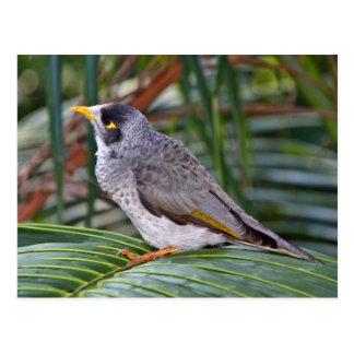 Noisy Miner Bird, Adelaide, Australia Postcard