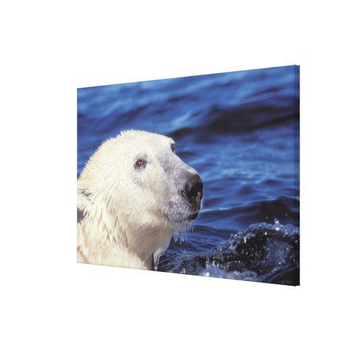 North America, Arctic Circle. Polar bear Stretched Canvas Print