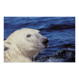 North America, Arctic Circle. Polar bear Poster