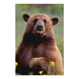 North America, California, cinnamon Black bear Photo Print