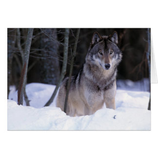 North America, Canada, Eastern Canada, Grey wolf Card