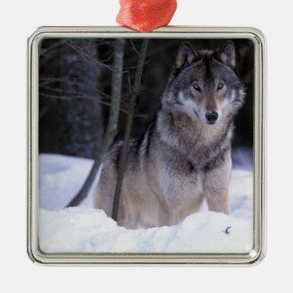 North America, Canada, Eastern Canada, Grey wolf Silver-Colored Square Ornament
