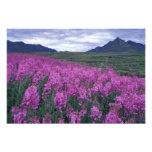 North America, Canada, Yukon. Fireweed blooms Art Photo
