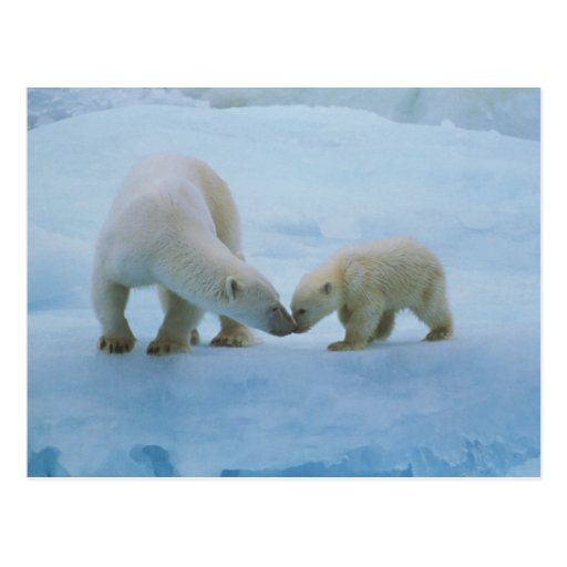 North America, Canadian Arctic. Polar bear and Post Cards