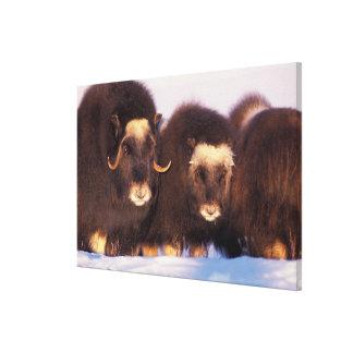 North America, USA, Alaska, Arctic Circle, Stretched Canvas Print