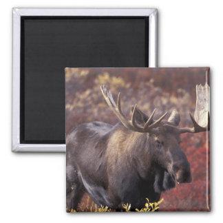 North America, USA, Alaska, Denali NP. Alces Square Magnet