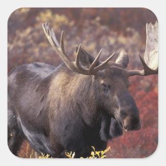 North America, USA, Alaska, Denali NP. Alces Square Sticker