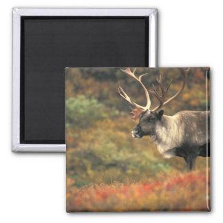 North America, USA, Alaska, Denali NP, Tundra. Square Magnet