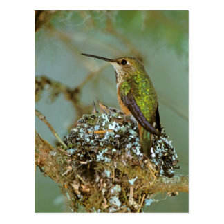 North America, USA, Alaska. Rufous Humming bird Postcard