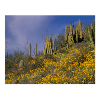 North America, USA, Arizona, Organ Pipe Cactus Postcard
