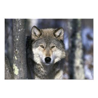 North America, USA, Minnesota. Wolf Canis 2 Photo Art