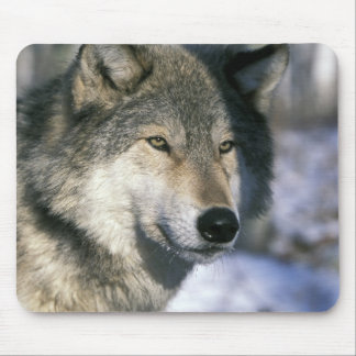 North America, USA, Minnesota. Wolf Canis 3 Mouse Pad