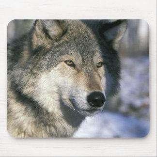 North America, USA, Minnesota. Wolf Canis 3 Mouse Pad
