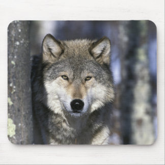 North America, USA, Minnesota. Wolf Canis Mouse Pad