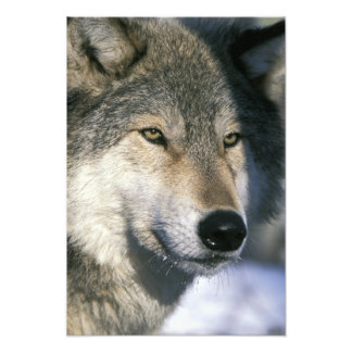 North America, USA, Minnesota. Wolf Canis Photo Print