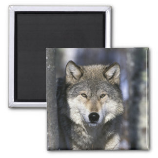 North America, USA, Minnesota. Wolf Canis Square Magnet