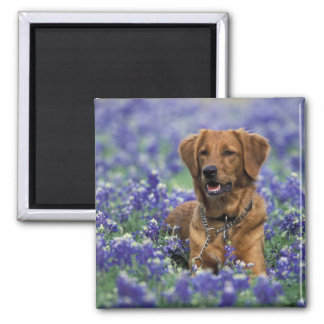 North America, USA, Texas. Golden Retriever in Magnet