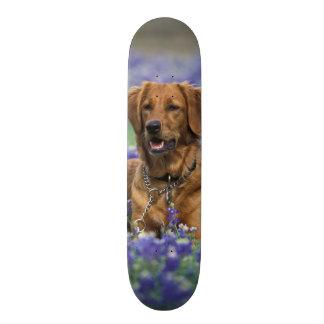 North America, USA, Texas. Golden Retriever in Skate Board