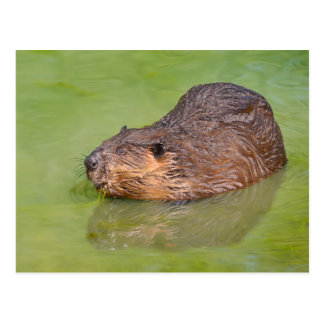 North American Beaver in water Postcard