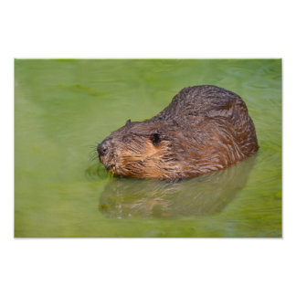 North American Beaver in water Poster