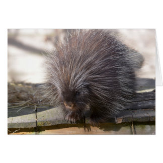 North American porcupine Card