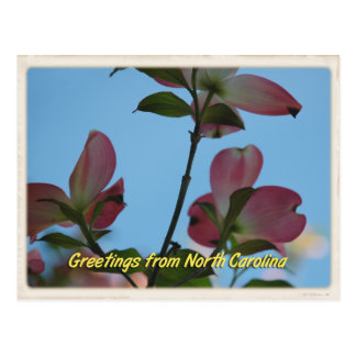 North Carolina Pink Dogwood Postcard