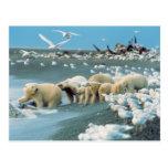 North Slope, Alaska. Polar Bears Ursus Post Card