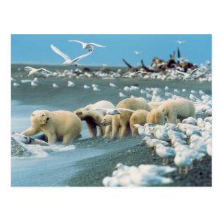 North Slope, Alaska. Polar Bears Ursus Postcard