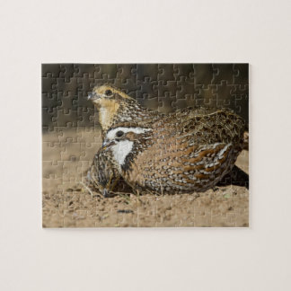 Northern Bobwhite quail babies at pond for drink Puzzle