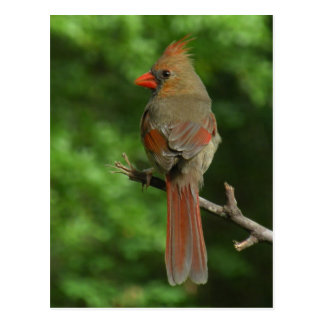 Northern Cardinal Bird Postcard