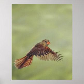 Northern Cardinal, Cardinalis cardinalis, female Poster