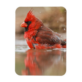 Northern Cardinal (Cardinalis cardinalis) male Magnet