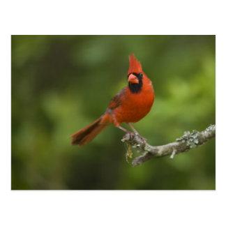 Northern Cardinal, Cardinalis cardinalis, Postcard