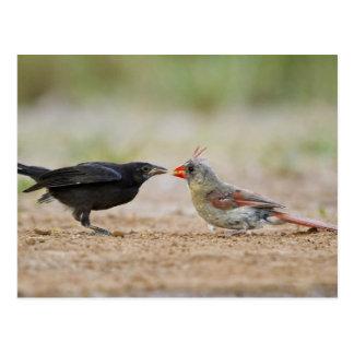 Northern Cardinal feeding baby cowbird Postcard