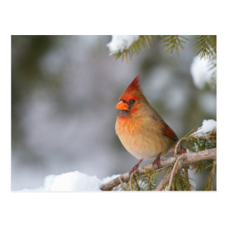 Northern Cardinal female in spruce tree in winter Postcard