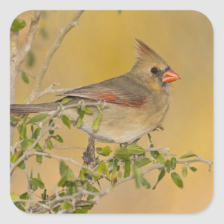 Northern Cardinal female perched on branch Square Sticker