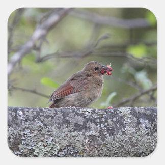 Northern cardinal fledgling square sticker