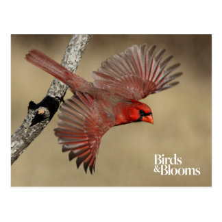 Northern Cardinal In Flight Postcard