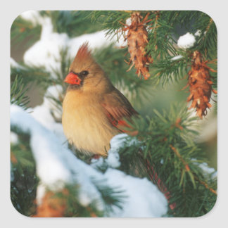 Northern Cardinal in tree, Illinois Square Sticker