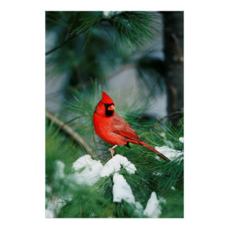 Northern Cardinal male on tree, IL Poster