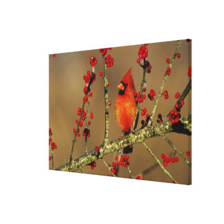 Northern Cardinal male perched, IL Canvas Print