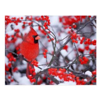 Northern Cardinal male, Winter, IL Postcard